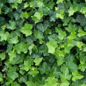 Ivy Trimming-Removal Services