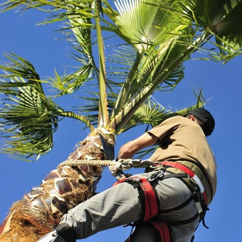 Palm Tree Trimming-Removal Services